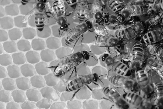 insecten bijen